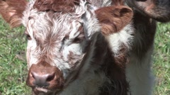 Calf of a English Longhorn cattle Stock Footage