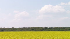 Canola field - stock footage
