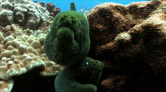 Two Moray Eels stare into camera - stock footage
