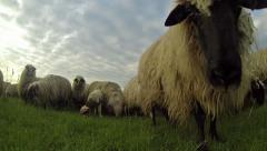 Flock of Sheep Grazing at Sunset - stock footage