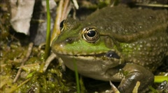 Static marsh frog in the wild Stock Footage