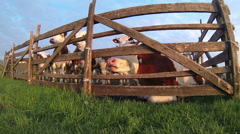 Cows in the Pasture Corral - stock footage