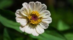 Zinnia Flower. Close Up. Stock Footage