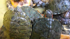 Stock Video Footage of The red eared slider turtle turtle, lovely reptile, in an aquarium