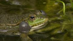 Croaking frog - HIGH QUALITY - stock footage