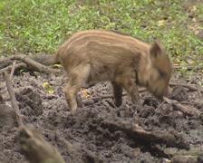 Wild Boar (sus scrofa) piglet in striped coat rooting in mud Stock Footage