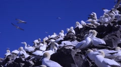 Gannets at Bass Rock (Scotland, UK) adults and chicks on the cliffs Stock Footage
