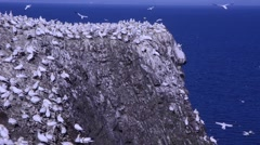 Gannetry at Bass Rock (Scotland, UK) gannets and chick  on the cliffs Stock Footage