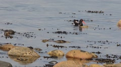 Oystercatcher, Haematopus ostralegus, fishing, gasteropoda,  limpet, Stock Footage