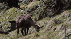 Rupicapra rupicapra, chamois, food, search for food, SPRING, Stock Footage