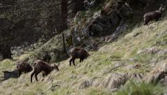 Rupicapra rupicapra, chamois, mammal,  spring, Gran Paradiso National Park Stock Footage