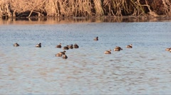 Little grebes swim in a pond in winter Stock Footage