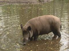 Wild Boar (sus scrofa) foraging in water Stock Footage