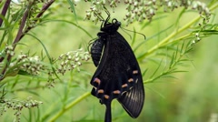 Swallowtail Butterfly Ordinary Stock Footage