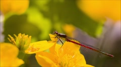 Large red damselfly on a ranunculus flower Stock Footage