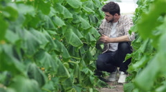Guy sitting between the green rows of the tablet slowly inspect plants Stock Footage