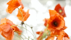 Poppies red silver breeze Stock Footage
