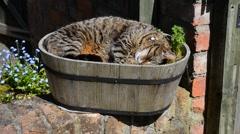 Tabby cat asleep in flower basket in garden Stock Footage