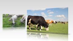 Farm Animal multisceen - stock footage