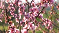 Cherry blossom tree branch 4k flowers spring dolly track japan background sakura Stock Footage