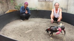 Chicken fight, healthcare for chickens Arkistovideo
