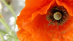Poppy red detail petals stigma stems Stock Footage