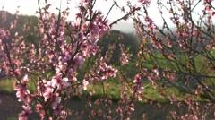 Cherry blossom tree branch 4k flowers spring springtime japan background sakura Stock Footage