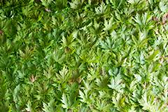 Fresh green maple leaf full frame texture Stock Photos