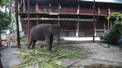 Solitary temple elephant in Sri Lanka Stock Footage