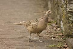 Female Pheasant - stock photo