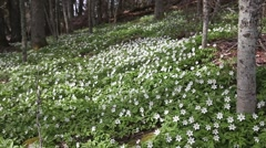 Wood Anemones in a forest Stock Footage