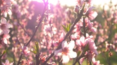 cherry blossom tree branch 4k flowers spring dolly track japan background sakura - stock footage