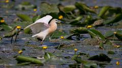 Squacco Heron Stock Photos