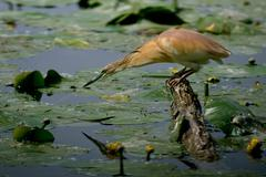 Squacco Heron - stock photo