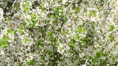 Cerasus avium. White cherry tree blossom fills the frame Stock Footage