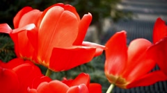 Close up Video of a few Red Tulip Flowers on Park Avenue New York City - stock footage