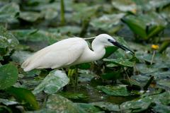 Little Egret eating Fish - stock photo