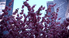 Close up Video of a Japanese Cherry Tree in Bloom on Park Avenue New York City w Stock Footage