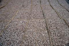 Planty of little anchovy fish drying on open air Stock Photos
