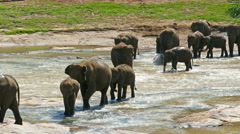 Elephants in the river - Sri Lanka - stock footage