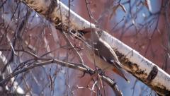Bohemian waxwing (Bombycilla garrulus) - songbird passerine - stock footage