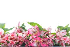Alstroemeria - stock photo