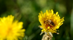 Bee on dandelion - stock footage