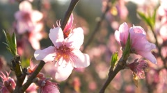 cherry blossom tree branch 4k flowers spring springtime japan background sakura - stock footage