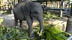 Elephants from the Pinnawela Elephant Orphanage, Sri Lanka Stock Footage