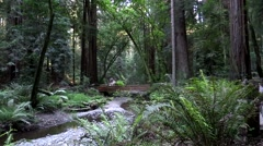Creek and big Sequoia Trees in Muir Woods Stock Footage