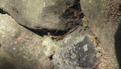 Skink Lizard With Blue Tail Climbing On Rocks Stock Footage