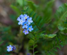 Forget me nots. - stock photo
