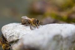 Honeybee resting on stone. Macro of insect Stock Photos