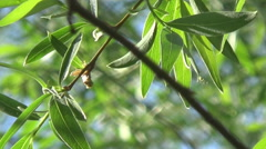 the nightingale on a branch - stock footage